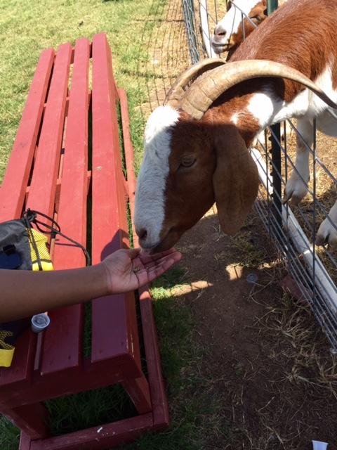 Feeding a cute goat through the net with a left hand