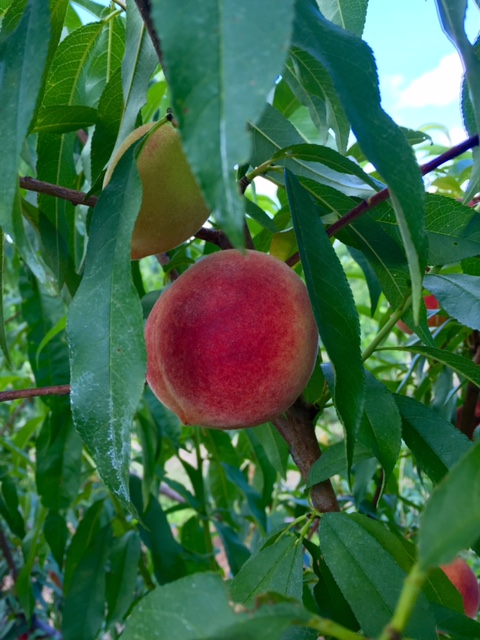 A big peach on a tree branch looking super delicious